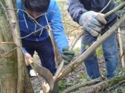 Hedgelaying by the Bowdon Bollin ii