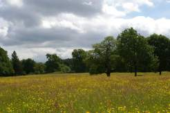 Buttercups at Hare Hill