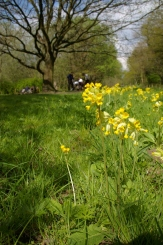 Cowslips and SACV volunteers at work