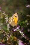 Gatekeeper butterfly on heather1