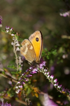 Gatekeeper butterfly on heather 1
