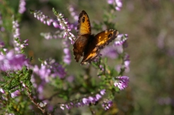 Gatekeeper butterfly on heather 2