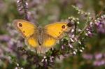 Gatekeeper butterfly on heather3