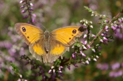 Gatekeeper butterfly on heather 3