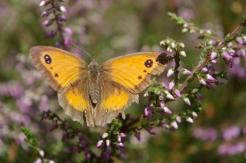 Gatekeeper butterfly on heather 3