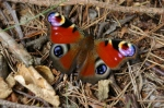 Peacock butterfly on ground
