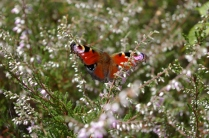 Peacock butterfly on heather