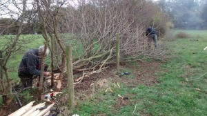 SACV hedgelaying at Alderley Edge