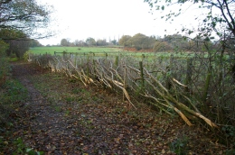 The laid hedge 1