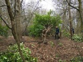 Clearing the rhododendrons