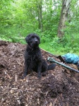Canine volunteer on the woodchippile