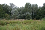 Himalayan balsam andtrees