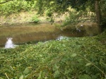 Himalayan balsam cleared on the bank of theBollin