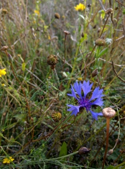 Cornflower and corn marigolds