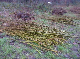 Cut willow