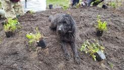 A canine volunteer supervises