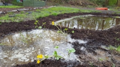 Marsh marigolds etc. in the new bog garden