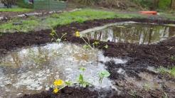 Marsh marigolds etc. in the new bog garden