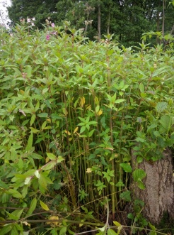 Himalayan balsam at Birch Farm Ponds