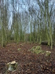 A coppiced area