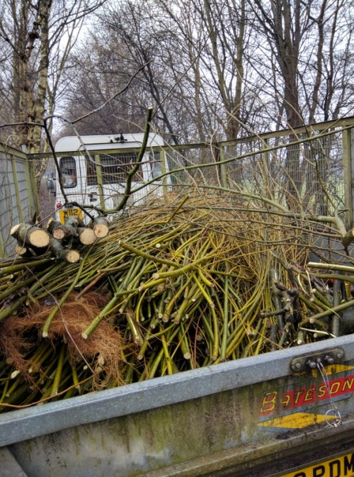 Cut willow in trailer