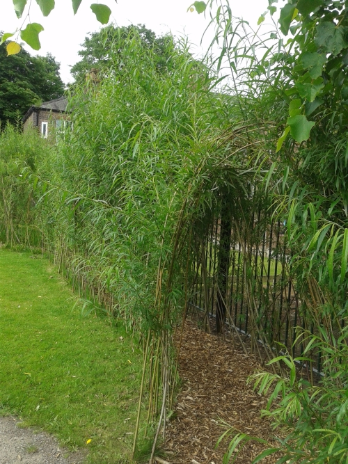 Willow tunnel and dome growing well