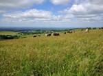 Longhorn cattle grazing