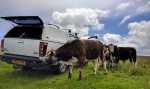 Longhorn cattle inspect the vehicle
