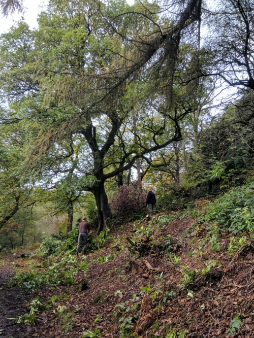 Removing rhododendron on slope