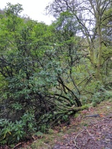 Rhododendron for felling