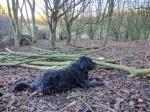 Canine volunteer withsawdust