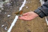 Feeding a robin