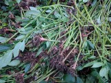 Uprooted Himalayan balsam