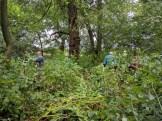 Volunteers tackling Himalayan balsam