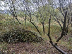 Creating deadwood for willow tits, and habitat pile