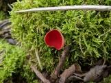 Scarlet elf cup (Sarcoscypha cocinea)