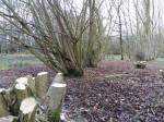 Coppiced hazel