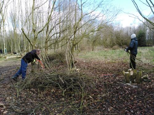 Coppicing of hazel in progress