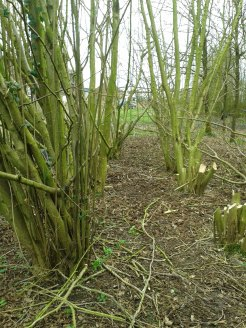 Coppicing in progress